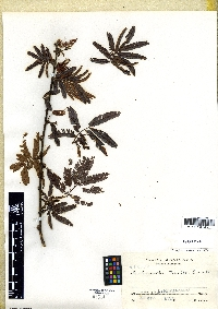 Image of Calliandra matudai