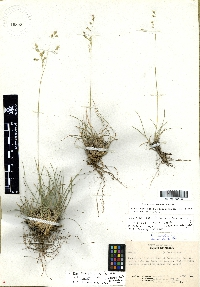 Image of Poa filiculmis