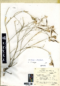Image of Asclepias suffrutex