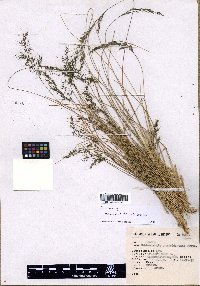 Image of Muhlenbergia hintonii