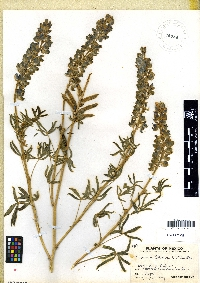 Image of Lupinus shrevei
