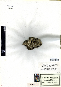 Image of Selaginella carnerosana