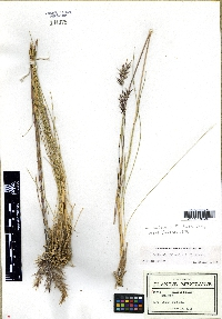 Image of Danthonia filifolia