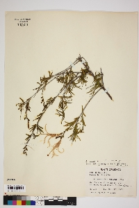 Anisacanthus linearis image