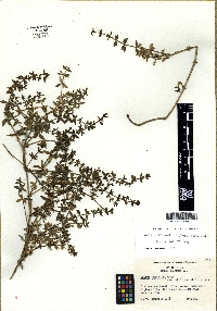 Image of Galium cliftonsmithii