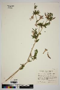 Anisacanthus thurberi image