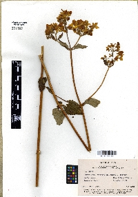 Image of Calceolaria chrysocalyx