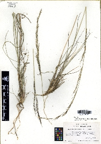Image of Aristida eludens