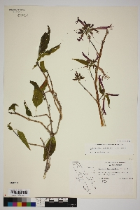 Anisacanthus andersonii image