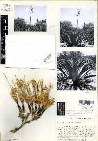 Agave parryi subsp. parryi image
