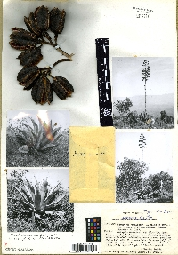 Agave scaposa image