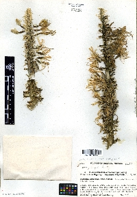 Agave guiengola image