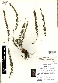 Astrolepis cochisensis subsp. arizonica image