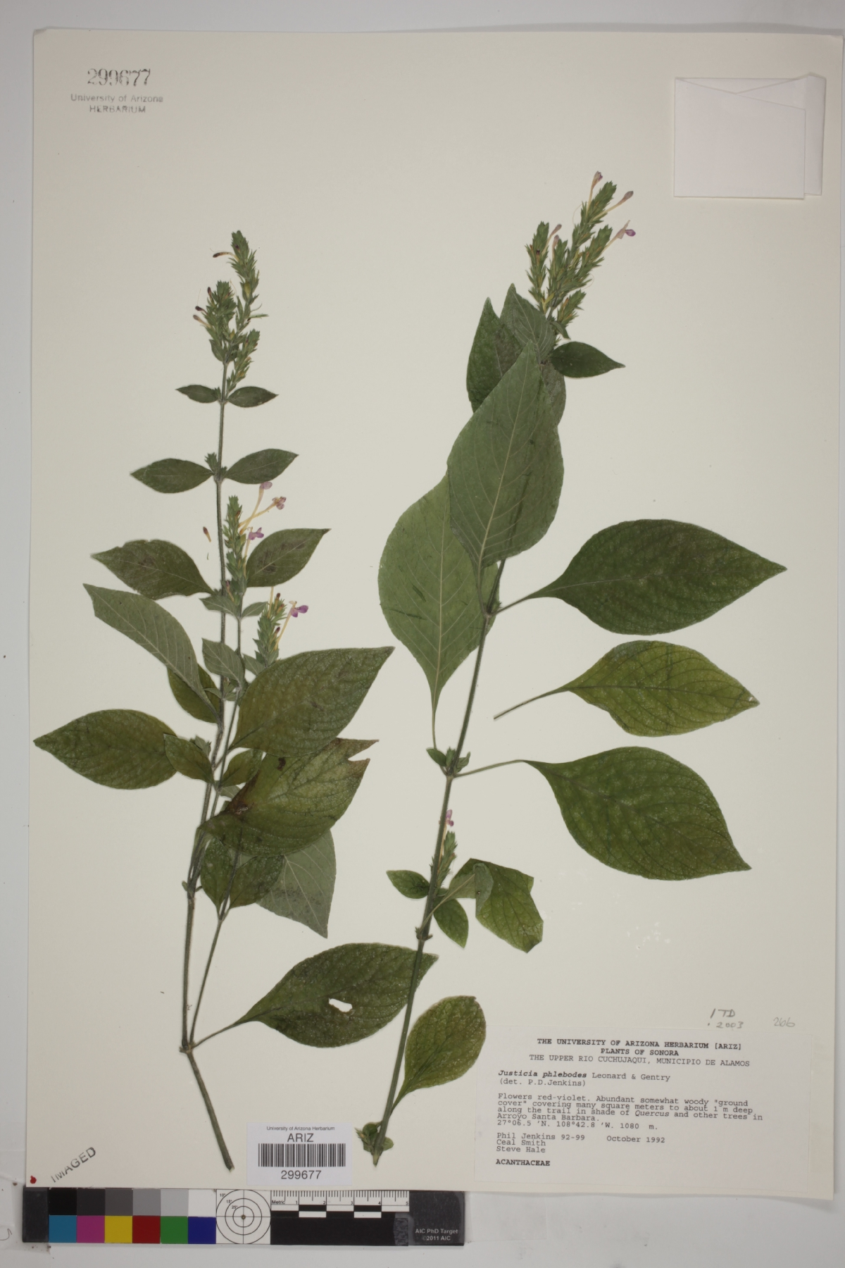 Justicia phlebodes image