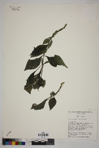 Image of Justicia phlebodes