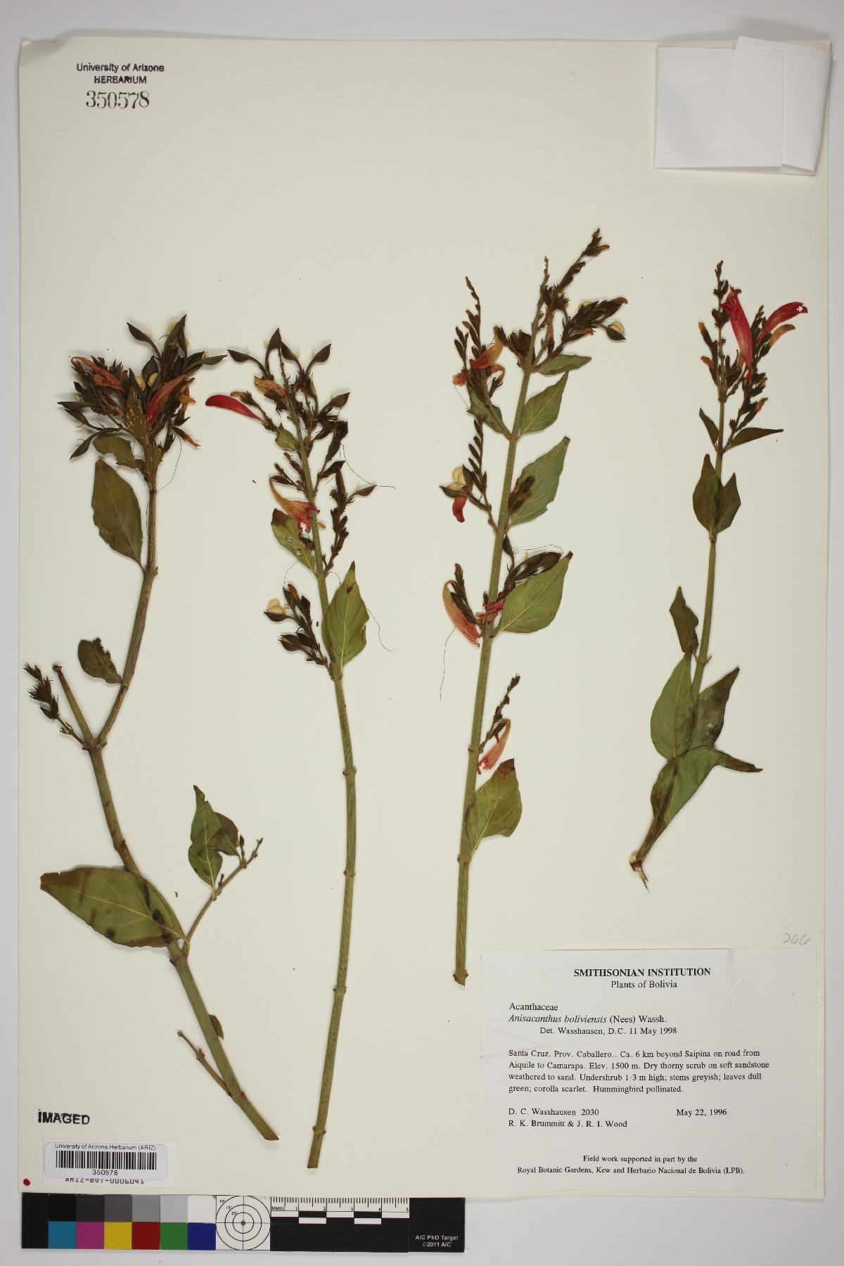 Anisacanthus boliviensis image