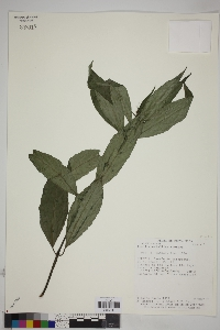 Image of Ruellia metallica