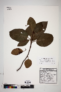 Image of Arbutus peninsularis