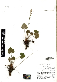 Image of Heuchera woodsiaphila