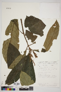 Image of Justicia deaurata