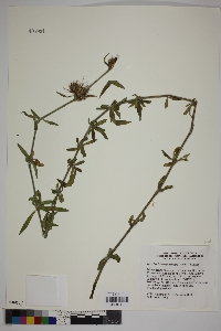 Image of Dyschoriste angustifolia