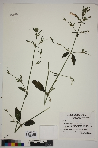 Image of Dicliptera inaequalis