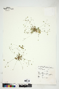 Image of Androsace umbellata
