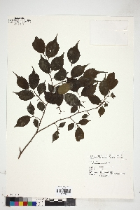 Image of Celtis biondii