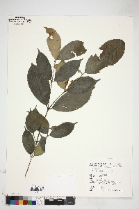 Image of Euonymus centidens