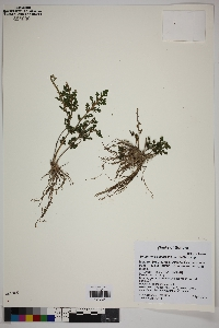 Selaginella pallescens image