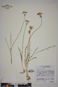 Image of Allium runyonii