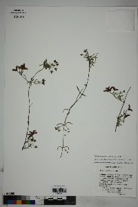 Cottsia gracilis image