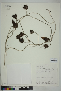 Image of Aniseia martinicensis