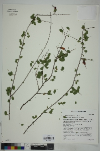 Image of Bauhinia carronii