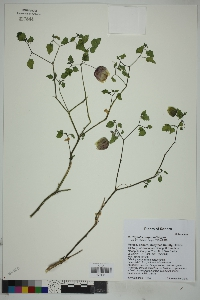Physalis purpurea image