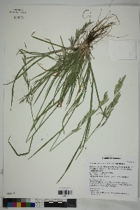 Bromus catharticus var. catharticus image