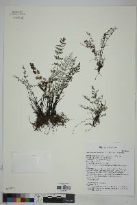 Notholaena lemmonii image
