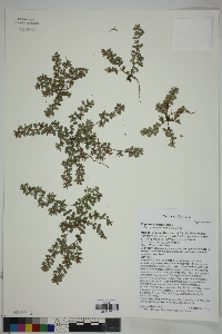 Image of Euphorbia dioica