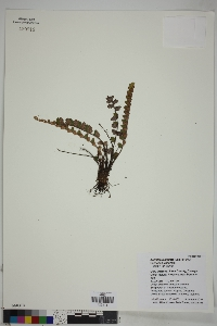 Astrolepis sinuata image