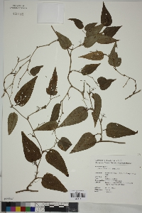 Image of Smilax sieboldii