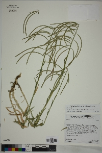 Image of Boechera californica