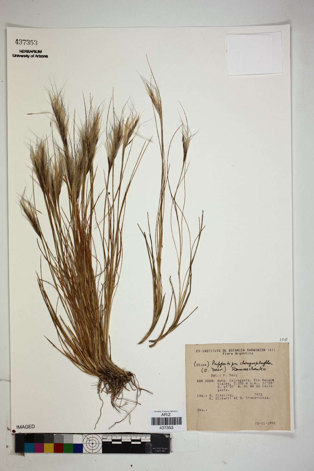 Pappostipa chrysophylla image
